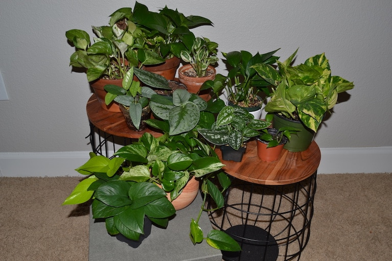Healthy Group of Different Pothos Variants