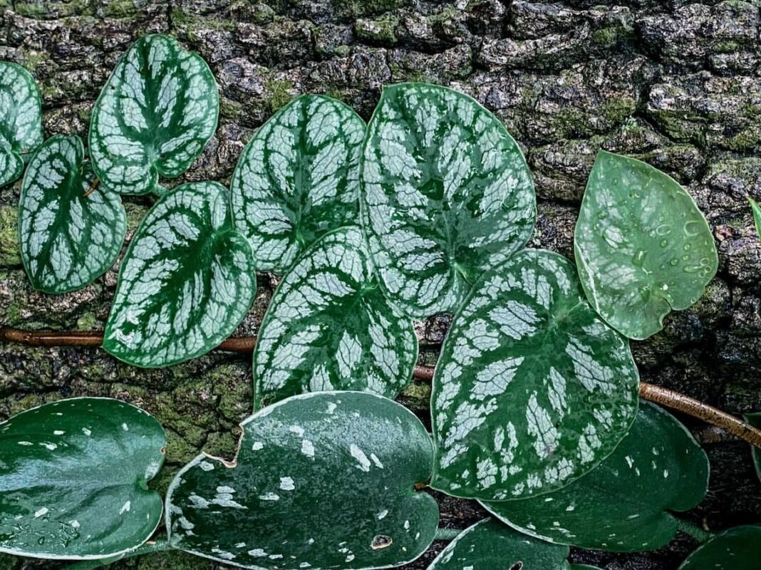 Healthy Monstera Dubia Plant