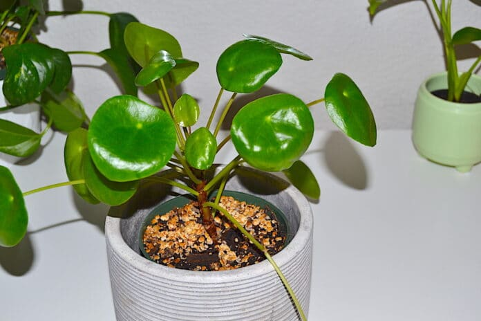 How to Care for Pilea Peperomioides Plant