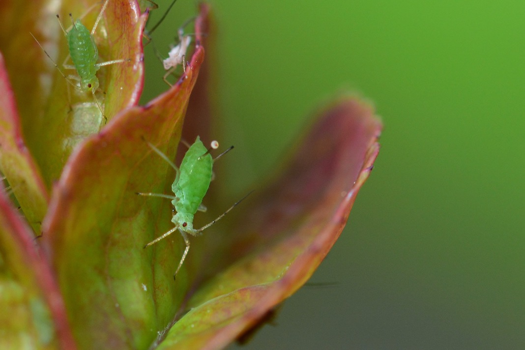 Preventing and Removing Aphids From Plants
